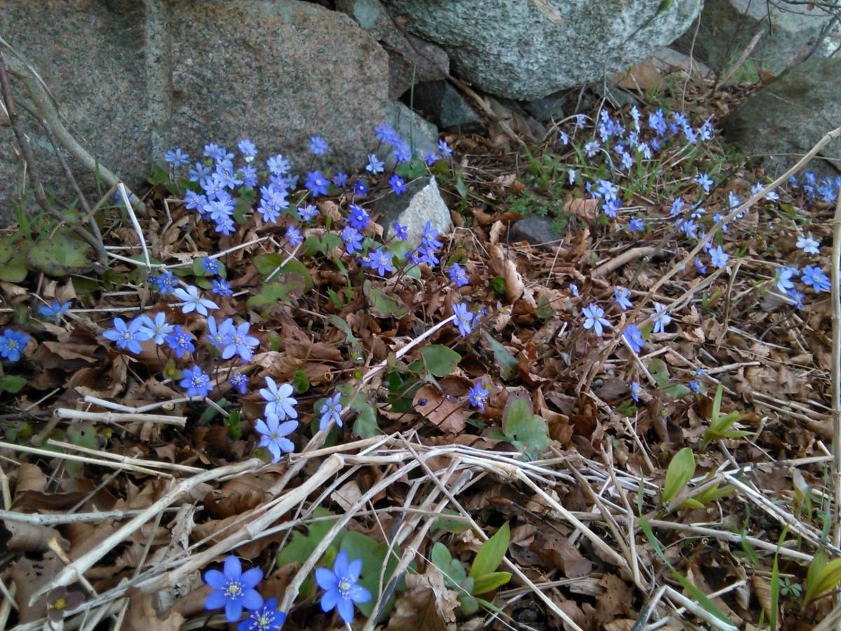 Blå anemoner i skoven