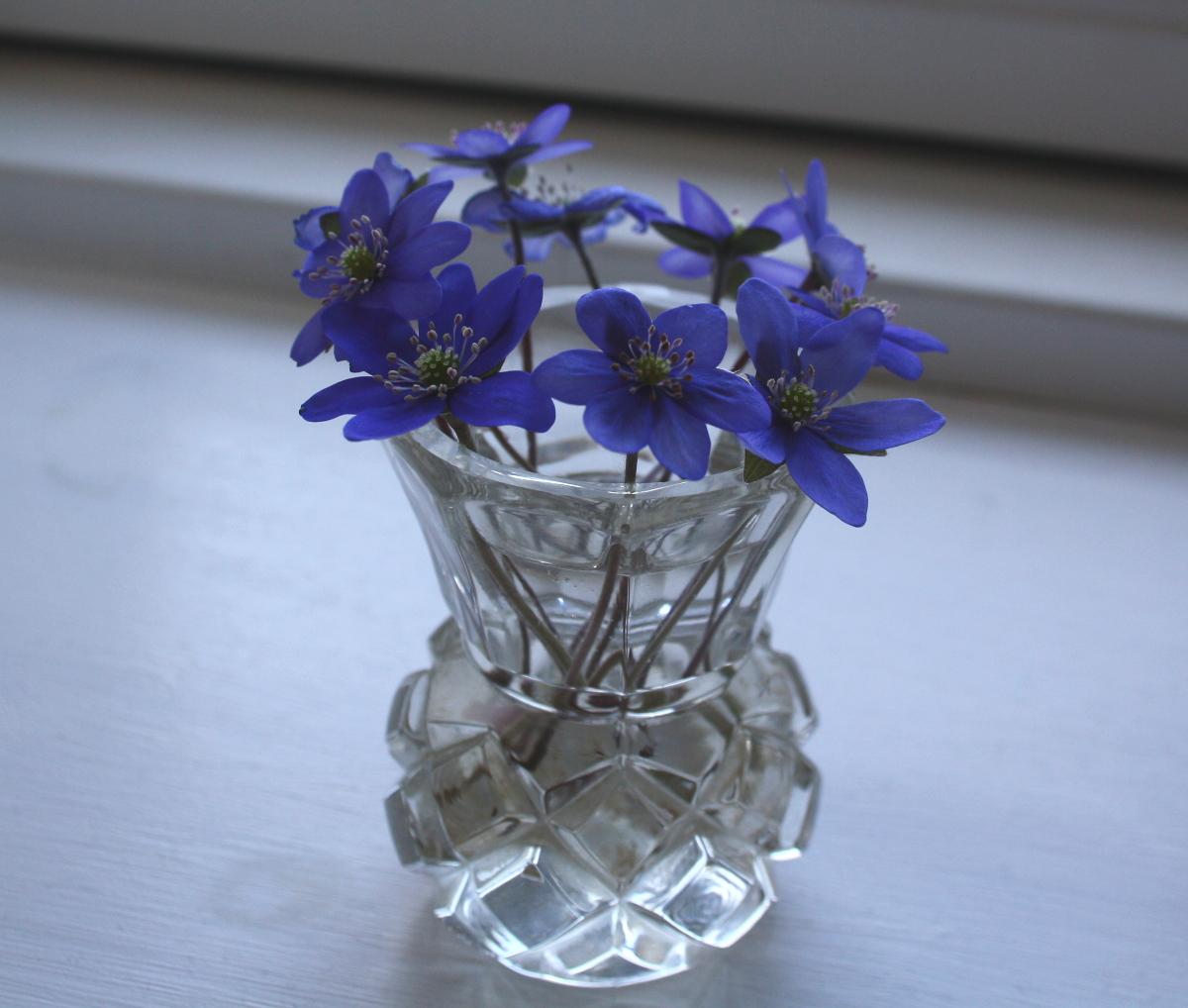 Blå anemoner