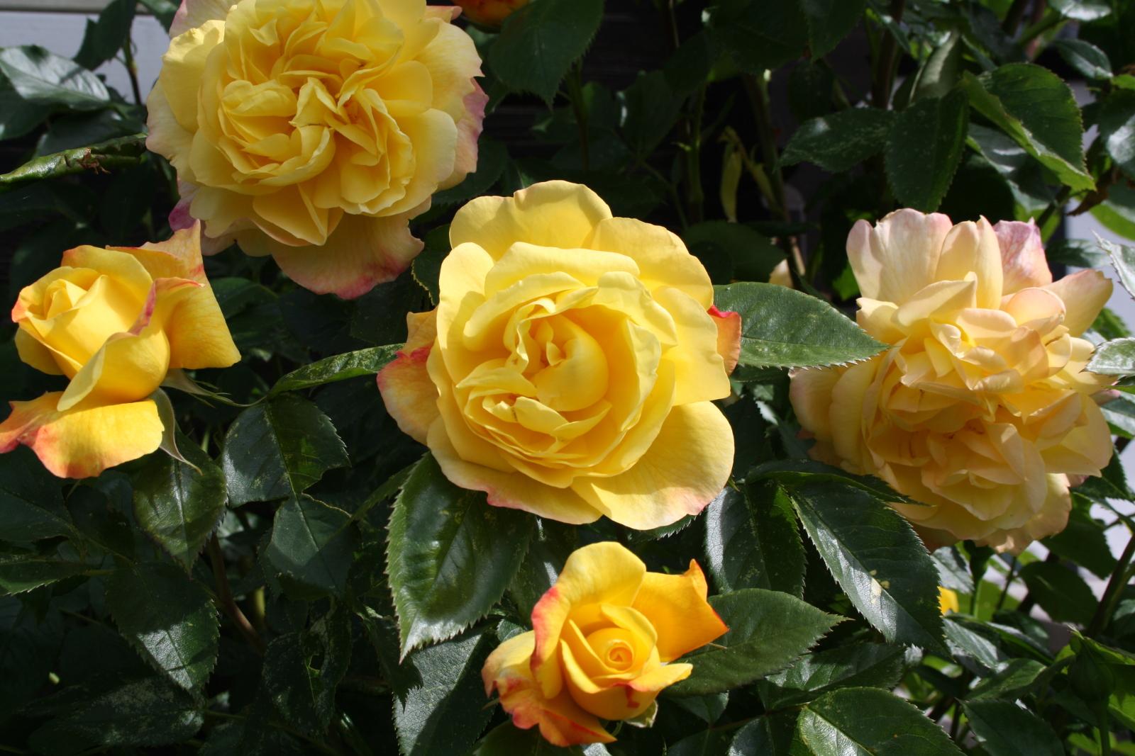 Gul rose tæt på