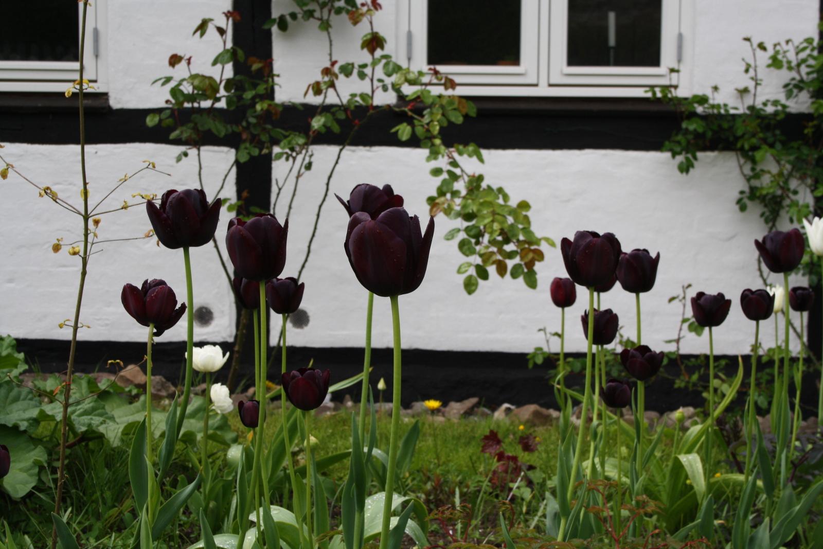 Tulipaner i forhaven