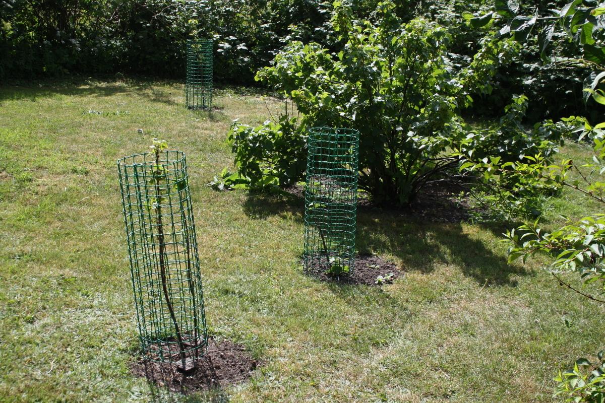 Solbærbuske med net