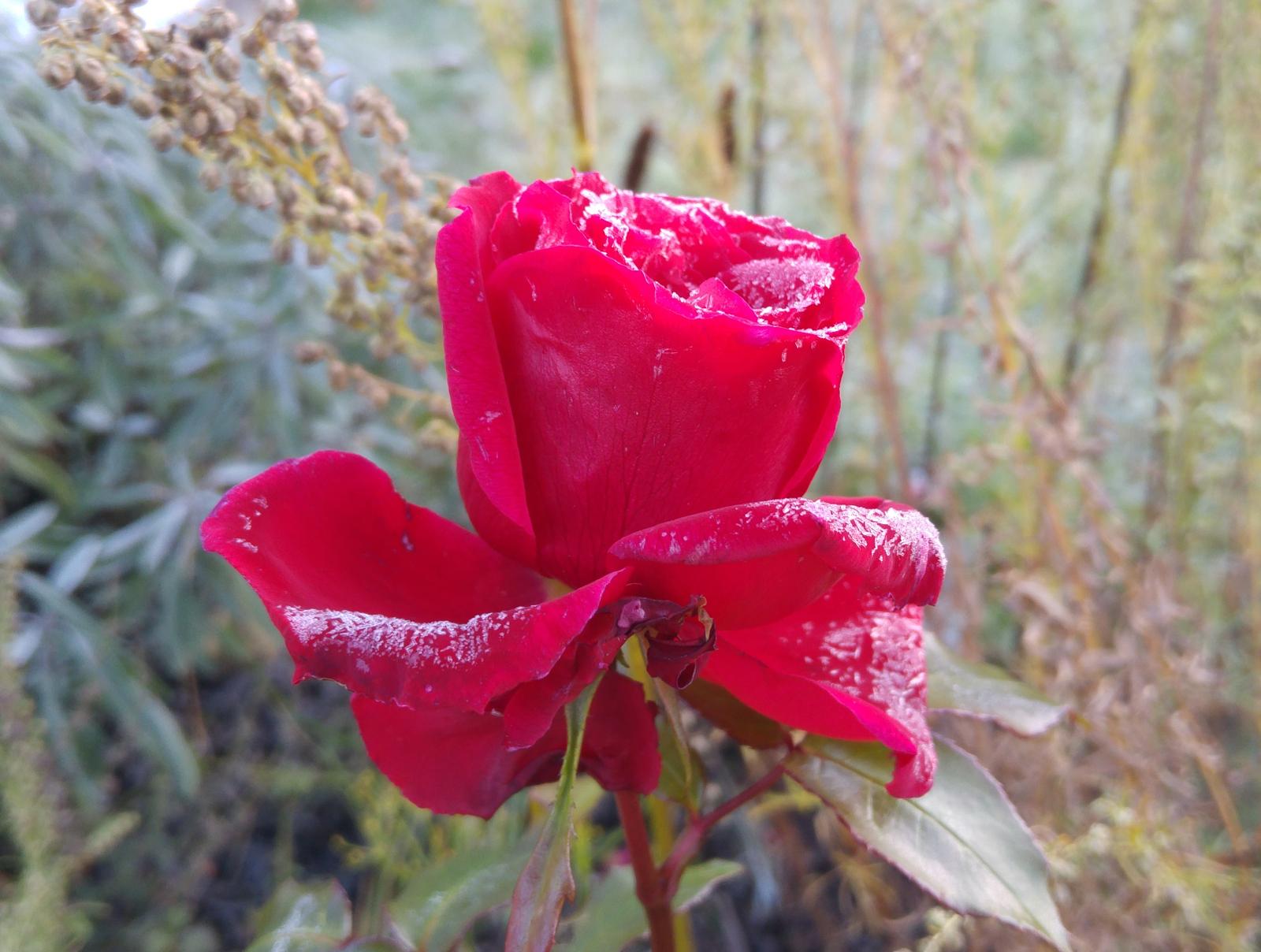 rose-i-frostvejr