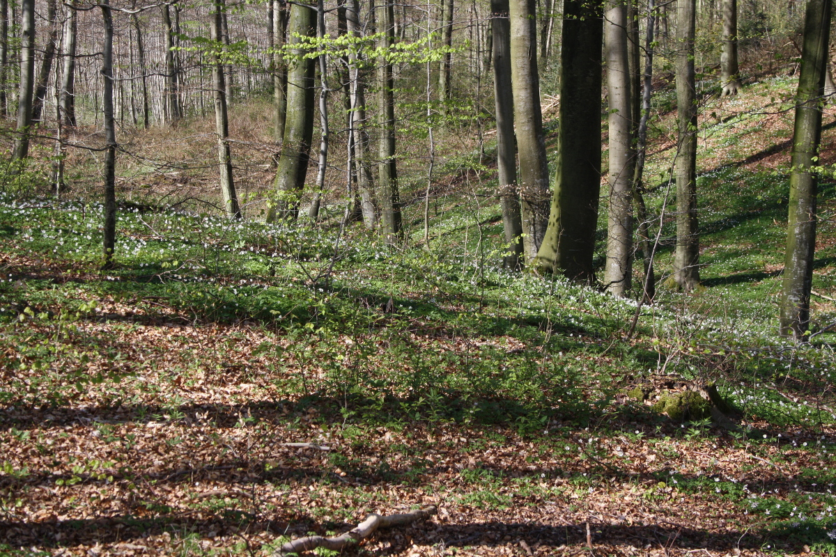 Anemoner i skoven
