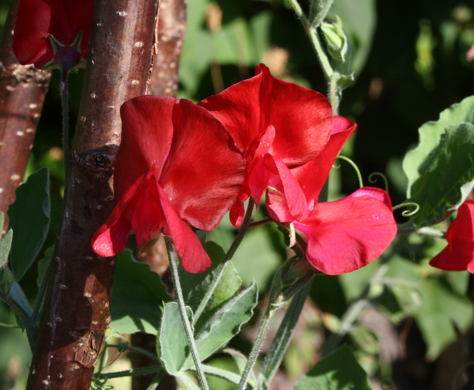 Lathyrus Winston Churchill