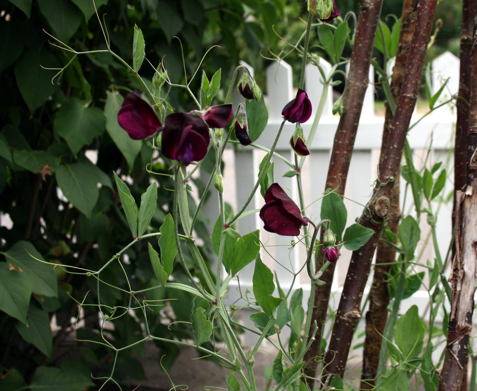 Lathyrus beaujolais
